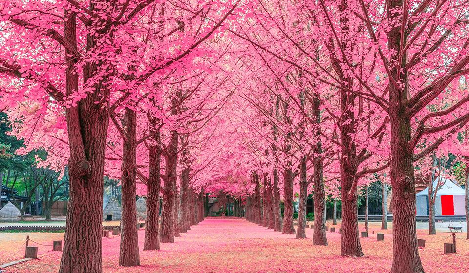 Vẻ đẹp rực sắc màu Hàn Quốc mùa Hoa Anh Đào
